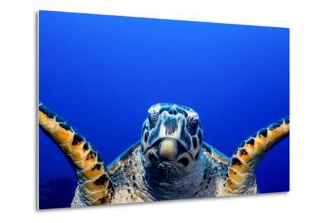Green Turtle (Chelonia Mydas)-Stephen Frink-Metal Print
