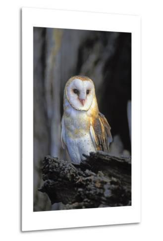 Barn Owl-Lantern Press-Metal Print