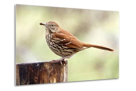 Brown Thrasher Standing on Tree Stump, Mcleansville, North Carolina, USA-Gary Carter-Metal Print
