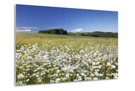 Flower Meadow with Marguerites (Leucanthemum Vulgare), Baden Wurttemberg, Germany, Europe-Markus Lange-Metal Print