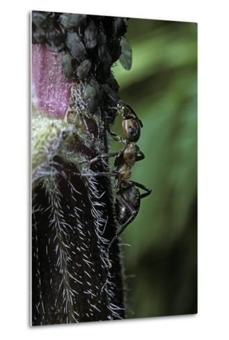 Formica Rufa (Red Wood Ant) - with Aphids-Paul Starosta-Metal Print