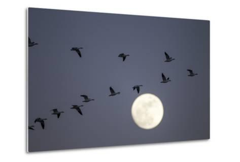 Snow Geese and Full Moon, New Mexico-Paul Souders-Metal Print
