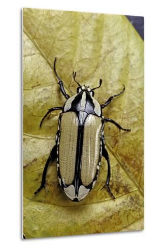 Gnathocera Bilineata (Flower Beetle)-Paul Starosta-Metal Print