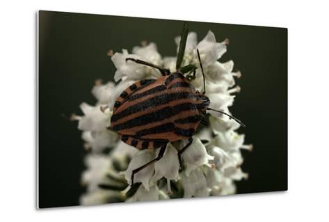 Graphosoma Lineatum (Striped Shield Bug )-Paul Starosta-Metal Print