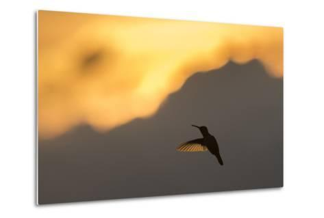 A Hummingbird Silhouetted Against a Mountain at Sunset-Jeff Mauritzen-Metal Print