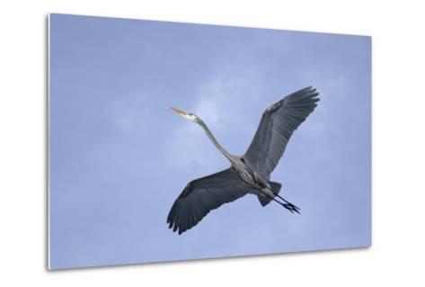 Great Blue Heron in Flight-Arthur Morris-Metal Print