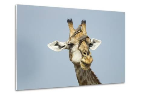 Giraffe and Red-Billed Oxpeckers, Moremi Game Reserve, Botswana-Paul Souders-Metal Print