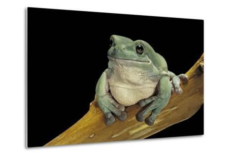Litoria Caerulea (Dumpy Treefrog)-Paul Starosta-Metal Print