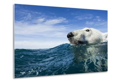 Polar Bear Swimming by Harbour Islands, Nunavut, Canada-Paul Souders-Metal Print