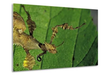 Extatosoma Tiaratum (Giant Prickly Stick Insect) - with a New Leg-Paul Starosta-Metal Print