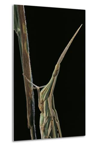 Xenotruxalis Fenestrata (Short-Horned Grasshopper) - Portrait-Paul Starosta-Metal Print