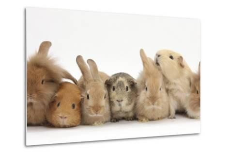 Assorted Sandy Rabbits and Guinea Pigs-Mark Taylor-Metal Print