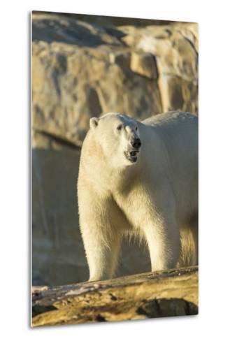 Polar Bear along Hudson Bay, Nunavut, Canada-Paul Souders-Metal Print