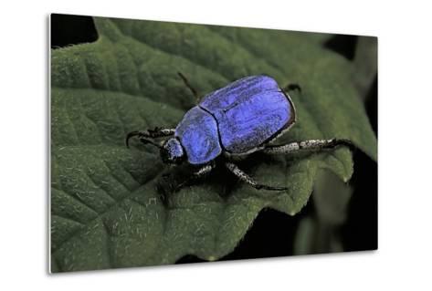 Hoplia Coerulea (Scarabaeid Beetle) - Male-Paul Starosta-Metal Print