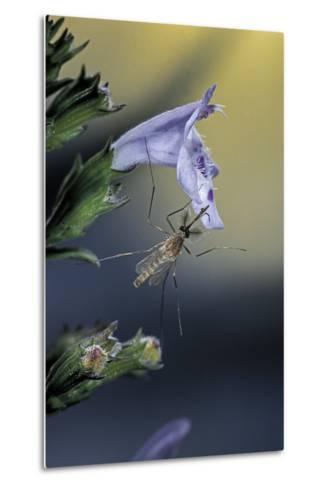 Culex Pipiens (Common House Mosquito) - on a Flower-Paul Starosta-Metal Print