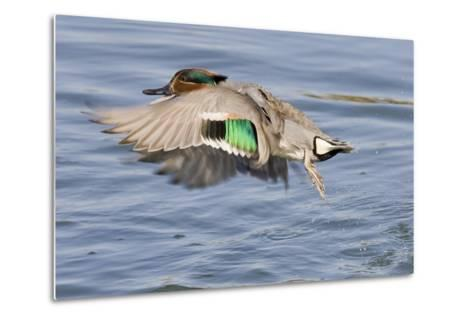 Male Green-Winged Teal Duck Takes Off-Hal Beral-Metal Print