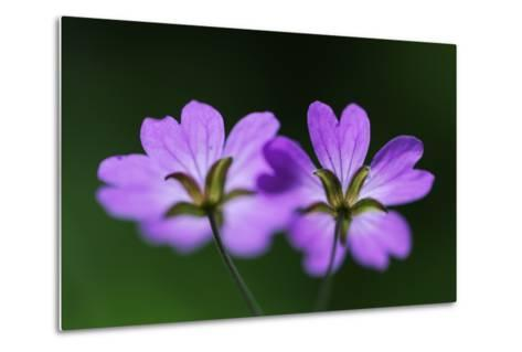 Two Hedgerow Cranesbills (Geranium Pyrenaicum) Flowers, Larochette, Mullerthal, Luxembourg, May- Tønning-Metal Print
