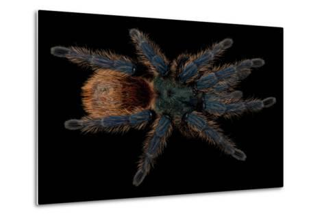 A Greenbottle Blue Tarantula at the Lincoln Children's Zoo-Joel Sartore-Metal Print
