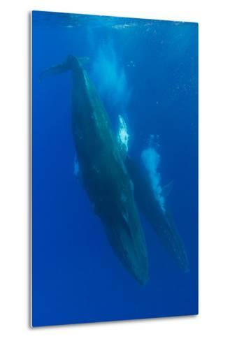 Two Humpback Whales Competitively Dive in the Pacific-Ralph Lee Hopkins-Metal Print