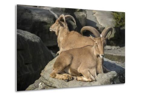 Barbary Sheep, Ammotragus Lervia, at the Taronga Zoo-Joel Sartore-Metal Print