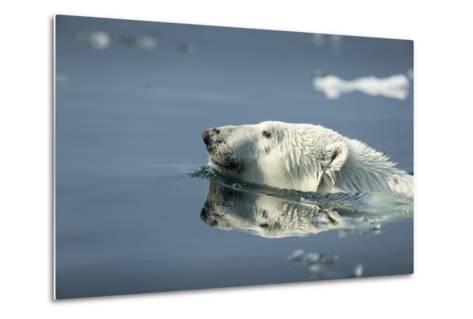 Swimming Polar Bear, Hudson Bay, Nunavut, Canada-Paul Souders-Metal Print