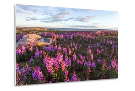 Fireweed, Hudson Bay, Canada-Paul Souders-Metal Print