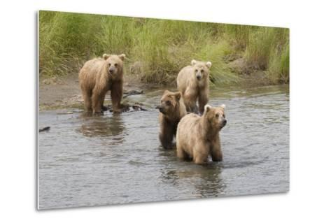 Brown(Grizzly) Bear Mother and Two Year Old Cubs-Hal Beral-Metal Print