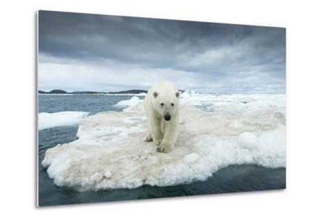Polar Bear on Hudson Bay Pack Ice, Nunavut, Canada-Paul Souders-Metal Print