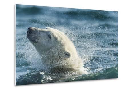 Polar Bear Swimming in Hudson Bay, Nunavut, Canada-Paul Souders-Metal Print