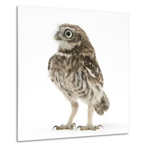 Portrait of a Young Little Owl (Athene Noctua)-Mark Taylor-Metal Print