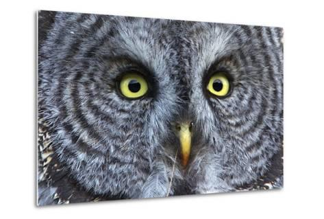 The Eyes of a Great Gray Owl-Barrett Hedges-Metal Print