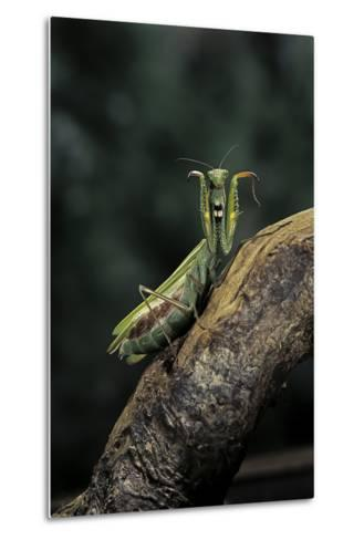 Mantis Religiosa (Praying Mantis) - in Defensive Posture, Threat Display-Paul Starosta-Metal Print