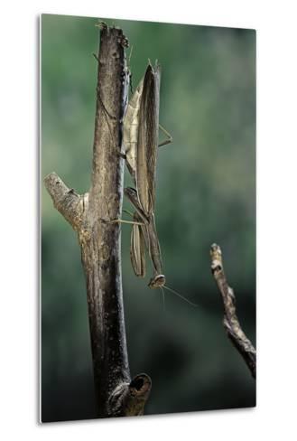 Mantis Religiosa (Praying Mantis) - Female Ready to Lay-Paul Starosta-Metal Print