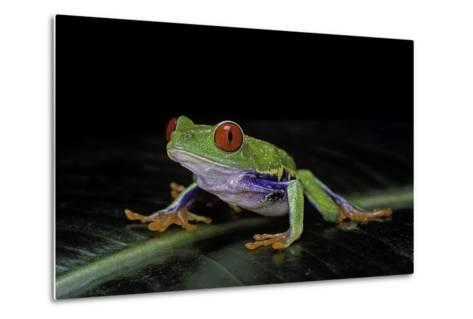 Agalychnis Callidryas (Red-Eyed Treefrog)-Paul Starosta-Metal Print