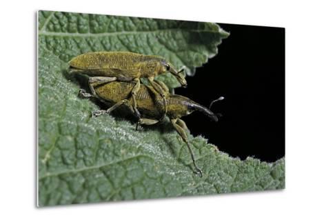 Lixus Algirus (Weevil) - Mating-Paul Starosta-Metal Print