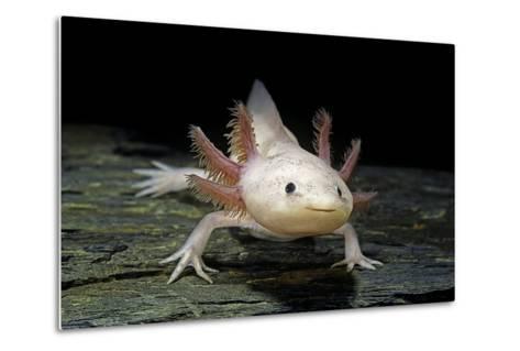 Ambystoma Mexicanum F. Leucistic (Axolotl)-Paul Starosta-Metal Print