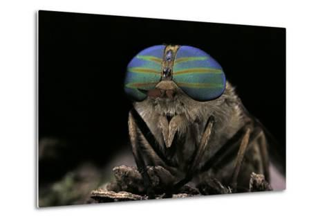 Tabanus Bromius (Small Horse Fly, Band-Eyed Brown Horsefly) - Portrait-Paul Starosta-Metal Print