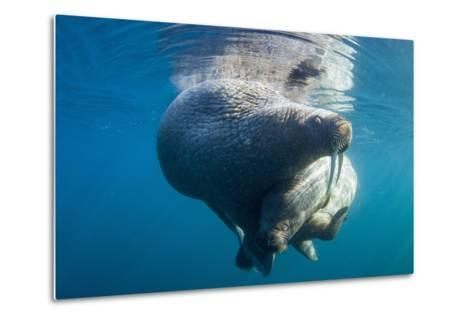 Underwater Walrus, Hudson Bay, Nunavut, Canada-Paul Souders-Metal Print