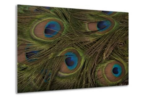 The Tail Feathers of an Indian Peafowl, Pavo Cristatus, at the Lincoln Children's Zoo-Joel Sartore-Metal Print