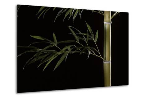 Phyllostachys Pubescens (Mosochiku Bamboo)-Paul Starosta-Metal Print