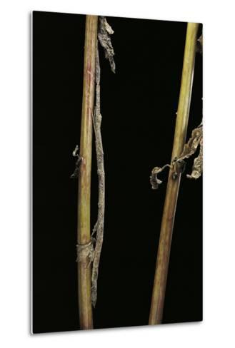 Carausius Spinosus (Pincer-End Stick Insect)-Paul Starosta-Metal Print