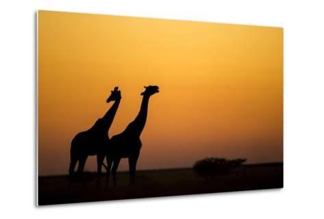 Giraffes, Nxai Pan National Park, Botswana-Paul Souders-Metal Print