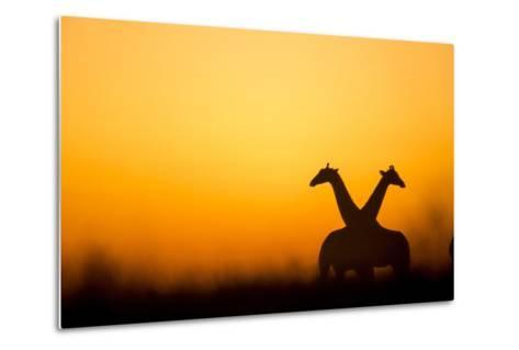 Giraffes, Nxai Pan National Park, Botswana-Paul Souders-Metal Print