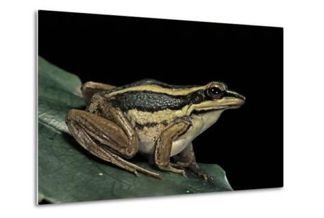 Hylarana Erythraea (Common Green Frog, Leaf Frog)-Paul Starosta-Metal Print