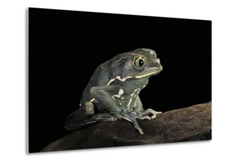 Phyllomedusa Sauvagii (Waxy Monkey Leaf Frog)-Paul Starosta-Metal Print