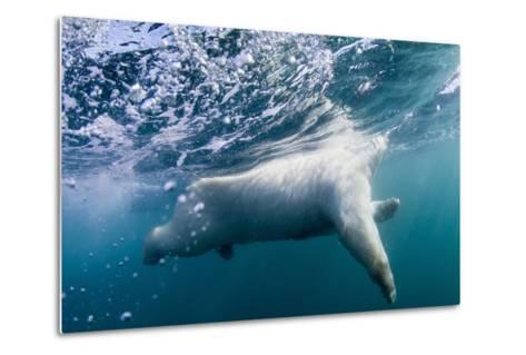Underwater Polar Bear by Harbour Islands, Nunavut, Canada-Paul Souders-Metal Print