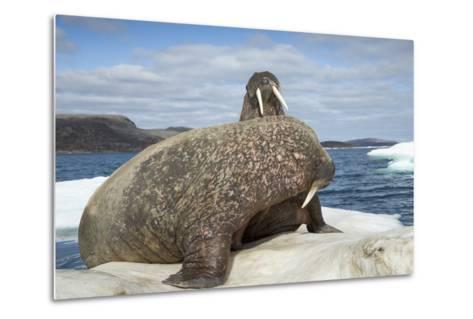 Walrus Resting on Ice in Hudson Bay, Nunavut, Canada-Paul Souders-Metal Print