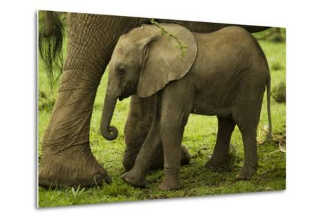 An African Elephant Calf Standing Underneath its Mother-Beverly Joubert-Metal Print
