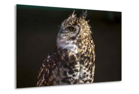 Portrait of a Spotted Eagle-Owl, Bubo Africanus-Stephen Alvarez-Metal Print