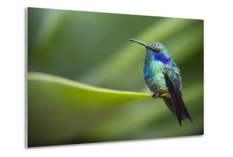 A Perching Green Violet Ear Hummingbird-Roy Toft-Metal Print